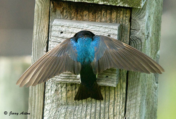 """<div class=""""jaDesc""""> <h4>Male Tree Swallow Arriving with Food - June 2, 2009 </h4> <p> When the male Tree Swallow arrives at the nest box with food, the female pulls back inside the box to let him come in and feed the chicks.</p> </div>"""