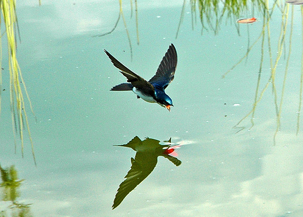 "<div class=""jaDesc""> <h4>Tree Swallow Swooping Down for Drink in Pond - May 30, 2006 </h4> <p>The Tree Swallows will interrupt their aerial maneuvers to catch bugs to make a pass or two on our water garden pond for a drink.</p> </div>"