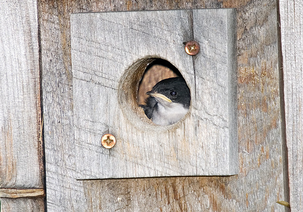 "<div class=""jaDesc""> <h4>Baby Tree Swallow Looking Out - June 29, 2008 </h4> <p>I set up my camera and tripod near the Tree Swallow nest box during a feeding session.  When I first focused on the hole, one chick was peeking out.</p> </div>"