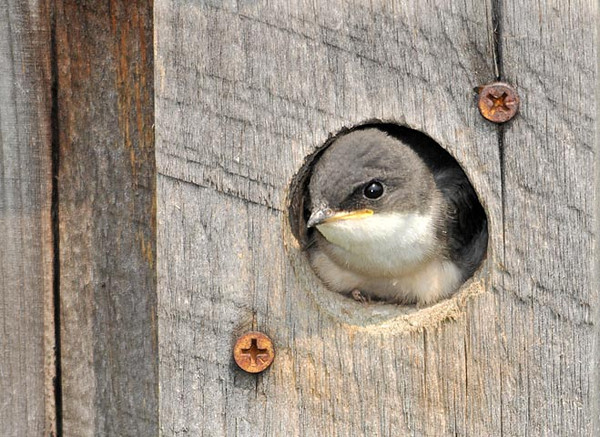"""<div class=""""jaDesc""""> <h4>Tree Swallow Chick in Nest Box - June 27, 2010 - Video Attached</h4> <p>  This Tree Swallow chick was the last to leave the nest box. Mom and dad continued to feed him every 5 minutes while the other 2 fledglings called to him from a nearby tree.</p> </div> </br> <center> <a href=""""http://www.youtube.com/watch?v=THPLCTrn2v8 """" class=""""lightbox""""><img src=""""http://d577165.u292.s-gohost.net/images/stories/video_thumb.jpg"""" alt=""""""""/></a> </center>"""