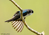 "<div class=""jaDesc""> <h4>Tree Swallow Wing Stretch - May 10, 2007 </h4> <p>During a vigorous grooming session, this Tree Swallow fully spread it's left wing.</p> </div>"