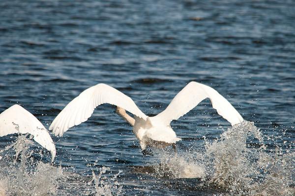 "<div class=""jaDesc""> <h4>Trumpeter Swan Paddling Faster - April 5, 2013</h4> <p>Just before take-off the paddling gets more vigorous.</p> </div>"