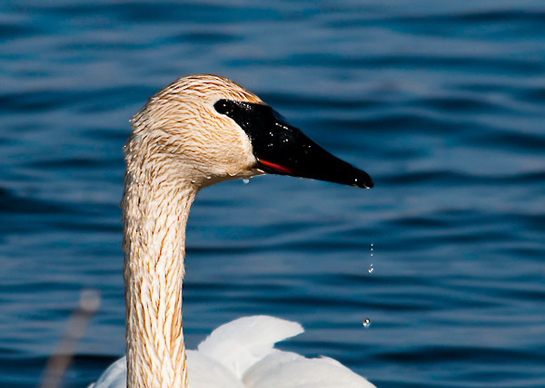 """<div class=""""jaDesc""""> <h4> Trumpeter Swan Close-up - April 5, 2013</h4> <p> This Trumpeter Swan had just picked her head out of the water where she was dabbling among the cattails.  She is a bit dirty from the mud she has been stirring up.</p> </div>"""