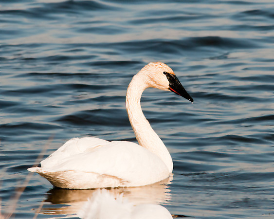 """<div class=""""jaDesc""""> <h4> Trumpeter Swan at Montezuma Main Pool - April 5, 2013</h4> <p>  Trumpeter Swans are the largest waterfowl in North America and the largest Swan in the World.  They were on the brink of extinction in the early 1900s.  With considerable conservation effort during the 20th century, they have recovered. The red """"smile line"""" is one of their key distinguishing features.</p> </div>"""