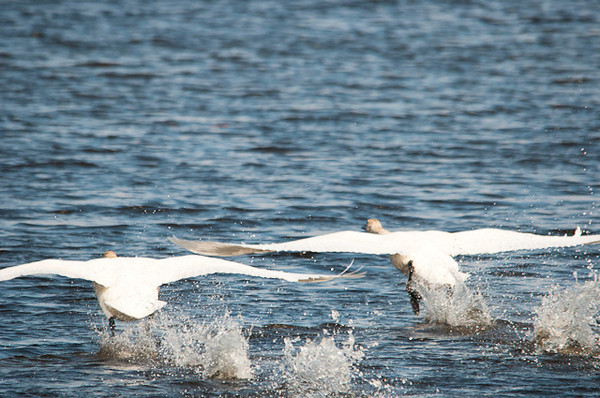 "<div class=""jaDesc""> <h4> Pair of Trumpeter Swans Ready for Lift Off - April 5, 2013</h4> <p>This pair is positioned just right with overlapping wings, one bird slightly behind the other.</p> </div>"