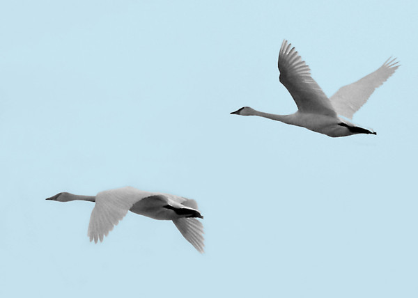 "<div class=""jaDesc""> <h4> Trumpeter Swans In-flight - December 9, 2010</h4> <p>  While I was taking photos of Canada Geese at Treman Marine Park in Ithaca, NY yesterday, a flock of 10 Trumpeter Swans flew by at a distance. This is a first photo of them for me.</p> </div>"