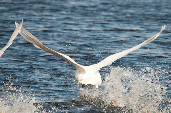 """<div class=""""jaDesc""""> <h4>Trumpeter Swan Picking Up Speed - April 5, 2013</h4> <p>Paddling on top of the water as those big wings gain some lift.</p> </div>"""