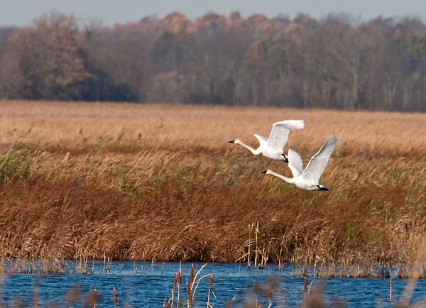 """<div class=""""jaDesc""""> <h4> Tundra Swans Taking Off - November 6, 2011 </h4> <p>  I had just noticed this pair of adult Tundra Swans in the main pool at Montezuma Wildlife Refuge when they took flight.  A third adult took off right behind them.</p> </div>"""
