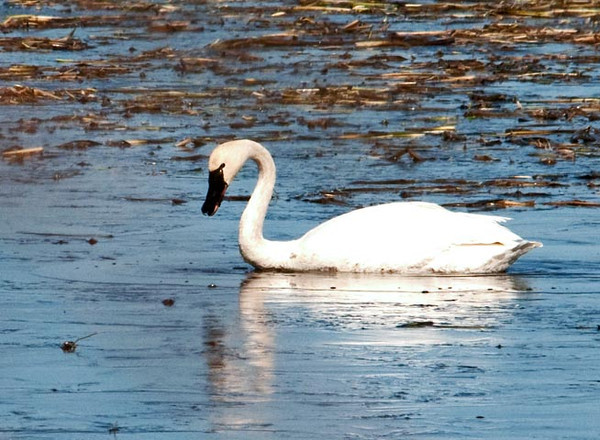"""<div class=""""jaDesc""""> <h4> Adult Tundra Swan Foraging - March 27, 2011 </h4> <p>  This adult Tundra Swan was foraging along with an immature Swan in the Montezuma Wildlife Refuge, NY.  Tundra Swans are the most common and widespread swans in North America.  They got their name because they breed in the tundra of the far north.</p> </div>"""