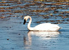 "<div class=""jaDesc""> <h4> Adult Tundra Swan Foraging - March 27, 2011 </h4> <p>  This adult Tundra Swan was foraging along with an immature Swan in the Montezuma Wildlife Refuge, NY.  Tundra Swans are the most common and widespread swans in North America.  They got their name because they breed in the tundra of the far north.</p> </div>"