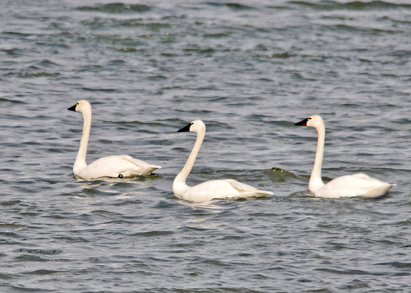 """<div class=""""jaDesc""""> <h4> Tundra Swan Trio in a Line - March 31, 2014 </h4> <p>These Tundra Swans were on the edge of Cayuga Lake at Frontenac Park.  They started paddling away as soon as they saw me setting up for a photo.</p> </div>"""