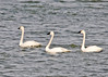 "<div class=""jaDesc""> <h4> Tundra Swan Trio in a Line - March 31, 2014 </h4> <p>These Tundra Swans were on the edge of Cayuga Lake at Frontenac Park.  They started paddling away as soon as they saw me setting up for a photo.</p> </div>"