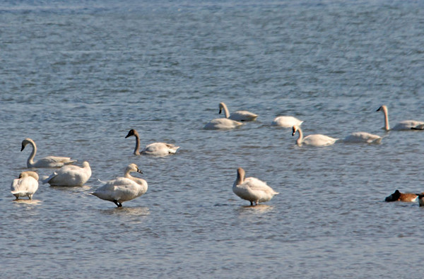 """<div class=""""jaDesc""""> <h4> Tundra Swans Dabbling in Cayuga Lake - February 20, 2012 </h4> <p> A small flock of Tundra Swans (adult and immature birds) were taking a migration break along the shore of Cayuga Lake. The water level in the lake is allowed to drop during bird migration so the ducks and geese have more shallow water shoreline for feeding.</p> </div>"""