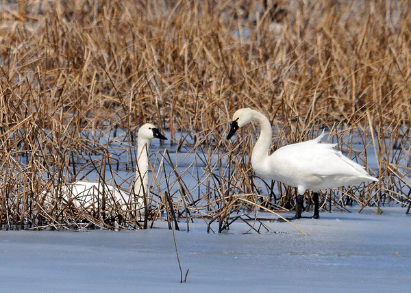 "<div class=""jaDesc""> <h4> Tundra Swan Pair #2 - March 31, 2014</h4> <p> </p> </div>"