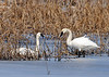 "<div class=""jaDesc""> <h4> Tundra Swan Pair #2 - March 31, 2014</h4> <p> </p> </div>"