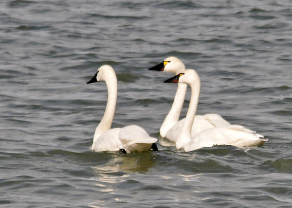 "<div class=""jaDesc""> <h4> Tundra Swan Trio Bunched Together - March 31, 2014 </h4> <p>As they paddled away from shore, they bunched up closer together while keeping an eye on me.  The yellow patch in front of the eye is the signature Tundra Swan field markings.  Not sure why 2 of them have the red lip which is characteristic of the Trumpeter, hybrid maybe?</p> </div>"
