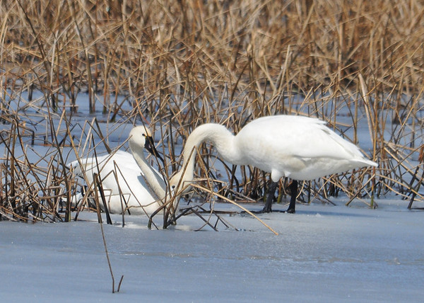 """<div class=""""jaDesc""""> <h4> Tundra Swan Pair #1 - March 31, 2014 - Video Attached</h4> <p> This pair of Tundra Swans were on the frozen main pool at Montezuma NWR.  There were pockets of open water that they were floating in and dabbling for food. </p>  </div> <center> <a href=""""http://www.youtube.com/watch?v=-qzH24qCzM8""""  style=""""color: #0000FF"""" class=""""lightbox""""><strong> Play Video</strong></a>"""