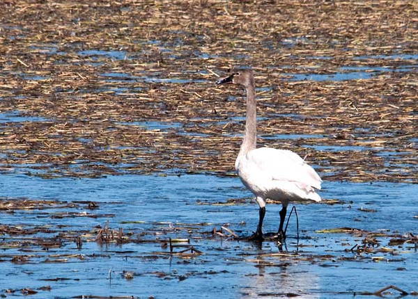 """<div class=""""jaDesc""""> <h4> Immature Tundra Swan - March 27, 2011 </h4> <p>  This immature Tundra Swan was hanging out with one adult. Immature Swans have gray plumage. This one is getting close to adult plumage, having gray only on the neck and head. Photo taken in Montezuma Wildlife Refuge, NY.</p> </div>"""