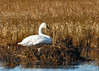 "<div class=""jaDesc""> <h4> Tundra Swan Resting - December 17, 2014</h4> <p>At Bombay Hook NWR along the Delaware coast, this lone Tundra Swan was resting on a Beaver lodge in Shearness Pool.</p></div>"