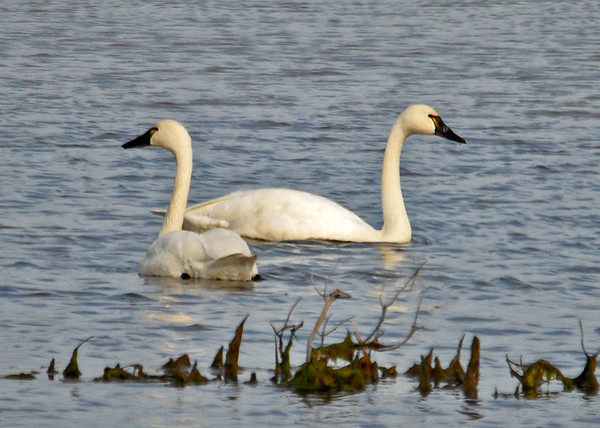 """<div class=""""jaDesc""""> <h4> Tundra Swan Pair Foraging - December 16, 2014</h4> <p>At Prime Hook NWR along the Delaware coast, a pair of Tundra Swans were foraging in the shallow waters.  This was one of the few times both heads were out of the water. </p> </div>"""