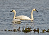 "<div class=""jaDesc""> <h4> Tundra Swan Pair Foraging - December 16, 2014</h4> <p>At Prime Hook NWR along the Delaware coast, a pair of Tundra Swans were foraging in the shallow waters.  This was one of the few times both heads were out of the water. </p> </div>"