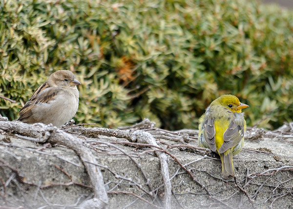 "<div class=""jaDesc""> <h4>Female Western Tanager with House Sparrow - March 20, 2016 </h4> <p>A female House Sparrow stopped by to keep her company for about 5 minutes.</p> </div>"
