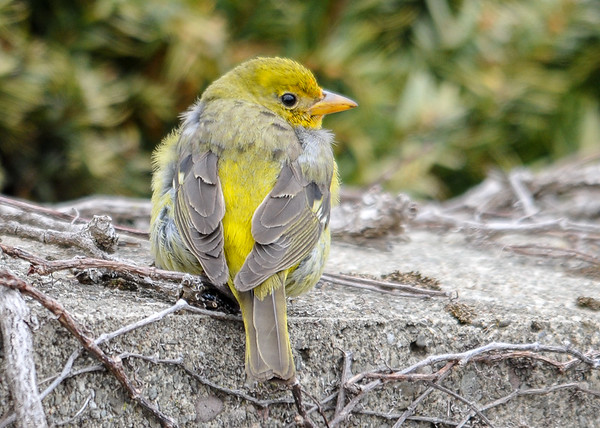 "<div class=""jaDesc""> <h4>Female Western Tanager - Back View - March 20, 2016 </h4> <p>She let me get very close for this one; very bright yellow on the back.</p> </div>"