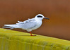 "<div class=""jaDesc""> <h4>Common Tern on Bridge Wall - November 7, 2013 </h4> <p> On my way out to Assateague Island in southern Virginia, I saw this Common Tern up ahead on a bridge wall.  I was able to pull off the road and get a photograph of him.  The wind was blowing about 30 MPH, so he was dropping down onto the side of the bridge to rest every few minutes.</p> </div>"