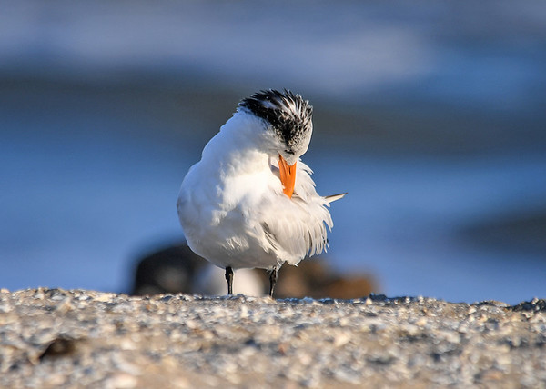 """<div class=""""jaDesc""""> <h4>Juvenile Royal Tern Grooming - November 10, 2016 </h4> <p> This juvenile Royal Tern decided it was time to groom some feathers.</p> </div>"""