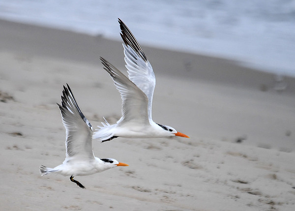 """<div class=""""jaDesc""""> <h4>Immature Royal Terns Airborne - October 23, 2017 </h4> <p>Their wings are very long for their body weight so they can float on the ocean breeze with ease.  Chincoteague National Wildlife Preserve</p> </div>"""