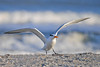 "<div class=""jaDesc""> <h4>Juvenile Royal Tern Landing - November 10, 2016 </h4> <p> This juvenile Royal Tern was joining a flock of about 30 juvenile Royal Terns that were relaxing on the beach.  Chincoteague National Wildlife Preserve.</p> </div>"