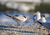 """<div class=""""jaDesc""""> <h4>Juvenile Royal Tern Chattering - November 10, 2016 </h4> <p> This juvenile Royal Tern was the only one chattering away, trying to get the attention of the other bird.  I could not figure out what he wanted, it is not the time of year for courtship.</p> </div>"""