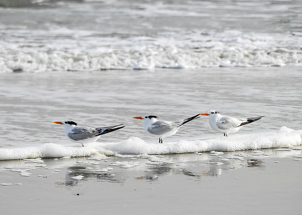 """<div class=""""jaDesc""""> <h4>Immature Royal Terns in Surf Bubbles - November 8, 2018 </h4> <p>The Terns were not fazed by the rolling surf as is swept across their legs.</p> </div>"""