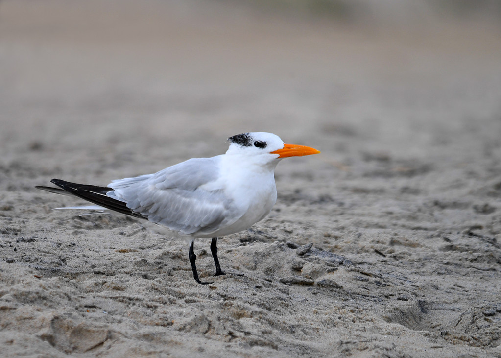 """<div class=""""jaDesc""""> <h4>Immature Royal Tern on Beach - October 23, 2017 </h4> <p>I was hoping to see the Royal Terns on the beach at Chincoteague National Wildlife Preserve again this year, and I was not disappointed.  There were about 20 immature Royal Terns (partial black crest) spread out in small groups among the gulls.</p> </div>"""