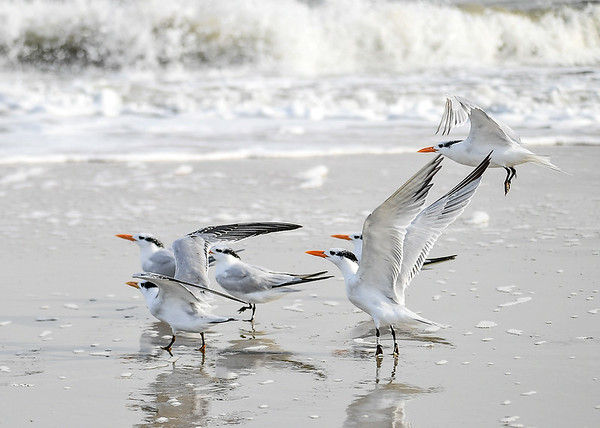"""<div class=""""jaDesc""""> <h4>Immature Royal Terns Taking Off - November 8, 2018 </h4> <p>I was hoping to see the Royal Terns on the beach at Chincoteague National Wildlife Preserve for the 3rd year in a row, and I was not disappointed.  There were about 30 immature Royal Terns (partial black crest) in 3 groups spread out along the beach surf line. Royal Terns are about the same size as a Crow, but their wingspan is 42-44 inches, longer than 33-40 inches for a Crow.</p> </div>"""