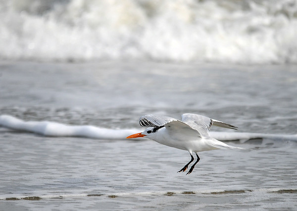 """<div class=""""jaDesc""""> <h4>Immature Royal Tern on Precision Approach - November 8, 2018 </h4> <p>Pointing into the wind and retracting their wings to lose lift, the Terns can make very soft, precision landings.</p> </div>"""