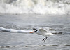"<div class=""jaDesc""> <h4>Immature Royal Tern on Precision Approach - November 8, 2018 </h4> <p>Pointing into the wind and retracting their wings to lose lift, the Terns can make very soft, precision landings.</p> </div>"