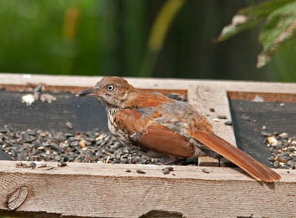 """<div class=""""jaDesc""""> <h4> Juvenile Brown Thrasher at Feeder - August 27, 2011 </h4> <p> The juvenile Thrasher that has been visiting our yard for several weeks is very elusive.  I finally managed to catch him at the feeder tray in our front yard.</p> </div>"""