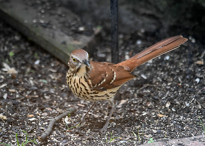 Brown Thrasher - Front View - September 8, 2019
