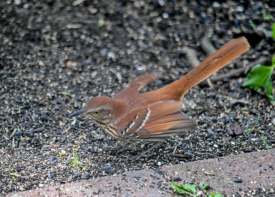 Brown Thrasher Wings Spread - September 8, 2019  Ground feeding in backyard.