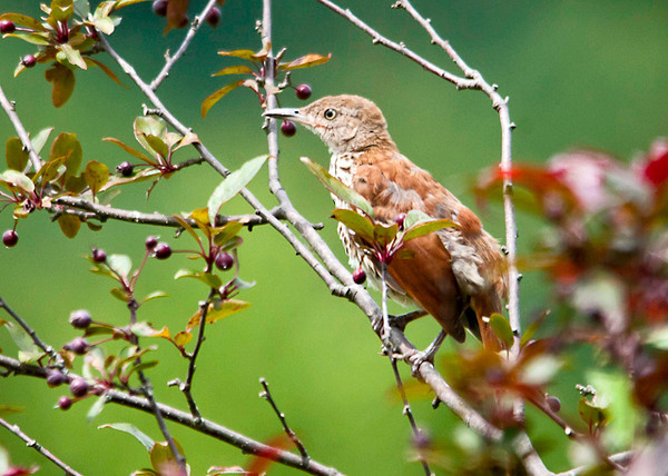 "<div class=""jaDesc""> <h4> Juvenile Brown Thrasher in Crabapple Tree - August 1, 2013 </h4> <p> This is the time of year when we usually have one  juvenile Thrasher visiting our yard.  This disheveled looking youngster has come in closer than previous years.  When he scurries along the ground in our backyard, he moves like a roadrunner.</p> </div>"