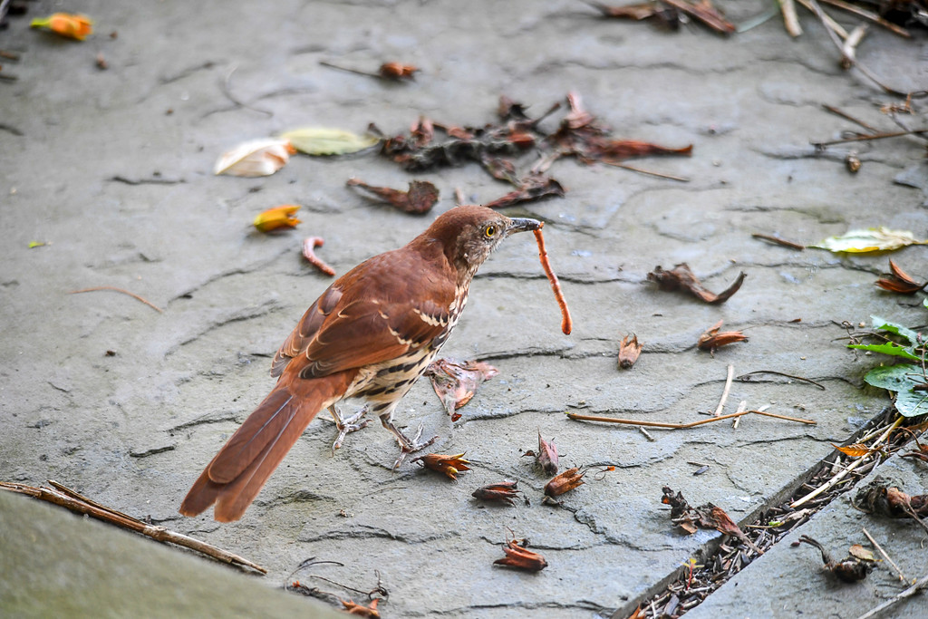 """<div class=""""jaDesc""""> <h4> Young Thrasher Dangles Worm - August 20, 2017 </h4> <p>The young Thrasher played with the worm for several minutes.  He shook it, tossed it, and dangled it from his beak.</p></div>"""