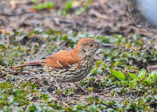"""<div class=""""jaDesc""""> <h4>Brown Thrasher - 1st of Year - April 26, 2020</h4> <p>Arrived on a rainy morning.</p> </div>"""