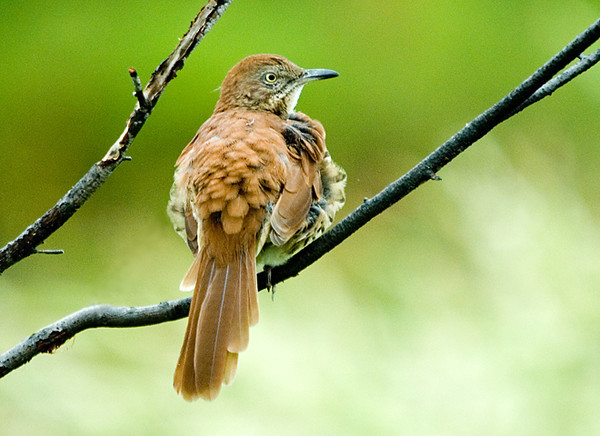 """<div class=""""jaDesc""""> <h4> Young Brown Thrasher - August 29, 2008 </h4> <p> The young Brown Thrasher is starting to look more and more like an adult.  This is the first I have seen him in over a week.</p> </div>"""