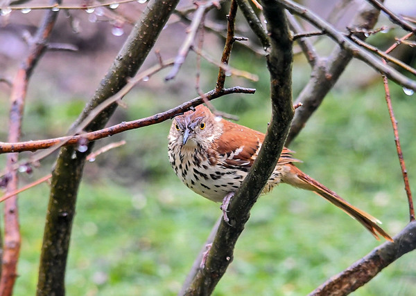 "<div class=""jaDesc""> <h4>Brown Thrasher - Looking at Me - April 26, 2020</h4> <p>Arrived on a rainy morning.</p> </div>"