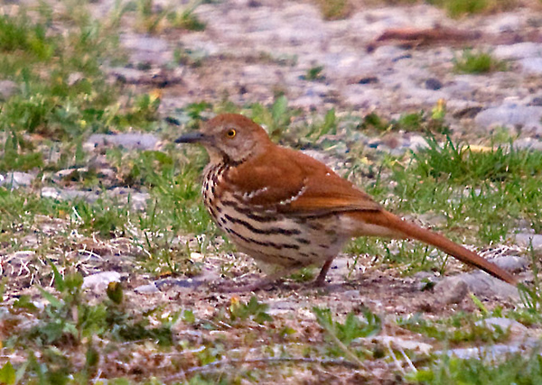 """<div class=""""jaDesc""""> <h4> Adult Thrasher Ground Feeding - April 30, 2009 </h4> <p> The adult Thrasher is very cautious and does not come in close.  She ground feeds out in the driveway where she can quickly scoot under the thick bushes.</p> </div>"""