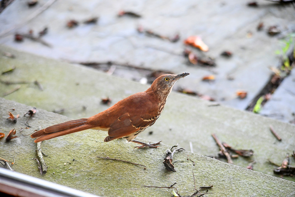 """<div class=""""jaDesc""""> <h4> Young Thrasher Finally Eats Worm - August 20, 2017 </h4> <p>He finally decided that worms are meant to be eaten, so he swallowed it.</p></div>"""