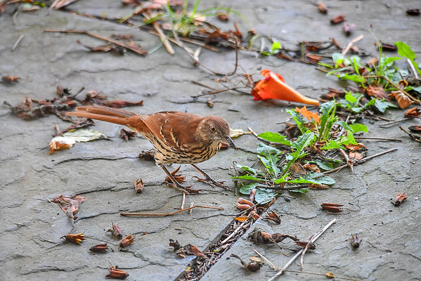 """<div class=""""jaDesc""""> <h4> Young Thrasher Finds Worm - August 20, 2017 </h4> <p>Our young Thrasher was foraging around our backyard when he found a worm.  He wasn't sure what to do with it.</p></div>"""