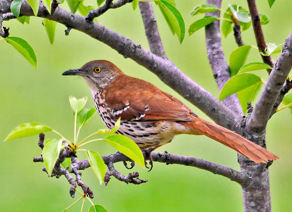 """<div class=""""jaDesc""""> <h4> Brown Thrasher in Pear Tree - June 10, 2014 </h4> <p>It was a real bonus to have this Brown Thrasher fly up to our pear tree after ground feeding.  I could not have wished for a better opportunity!</p> </div>"""