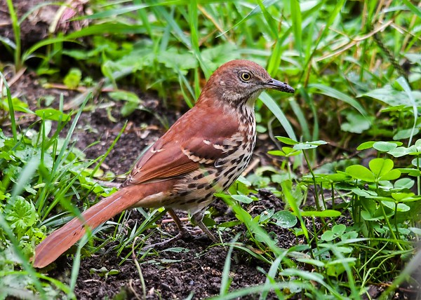 """<div class=""""jaDesc""""> <h4>Thrasher Ground Feeding - August 31, 2018 </h4> <p> Our backyard is full of worms in several places.  A Thrasher found one of the best spots.</p> </div>"""